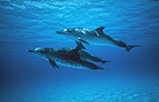 Sea life, including whales and dolfins are often encounterd on the Molokai - Maui ferry trip.